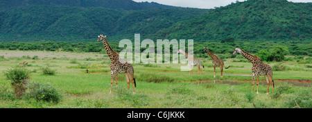 Giraffe panorama - Stock Photo