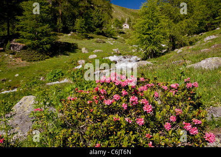Alpenrose, Rhododendron ferrugineum in flower by an alpine stream, Engadin valley, Switzerland - Stock Photo