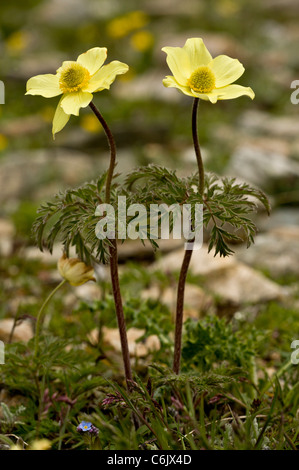 Alpine Pasque flower, yellow form, Pulsatilla alpina ssp. apiifolia, in the Engadin valley, Switzerland. - Stock Photo