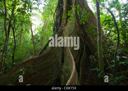 RAINFOREST interior showing the buttress roots of a Fig tree (Ficus sp.) Khao Sok National Park, Thailand. - Stock Photo