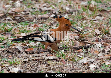 African Hoopoe foraging on ground.