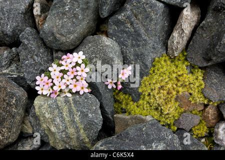 Alpine Rock-Jasmine, Androsace alpina - cushion alpine at high altitude in Swiss Alps. - Stock Photo