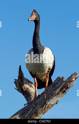 Magpie Goose (Anseranas semipalmata), Yellow Water Billabong, Kakadu National Park, Northern Territory, Australia - Stock Photo