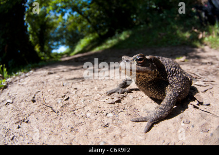 Common toad sun bathing on a path - Stock Photo