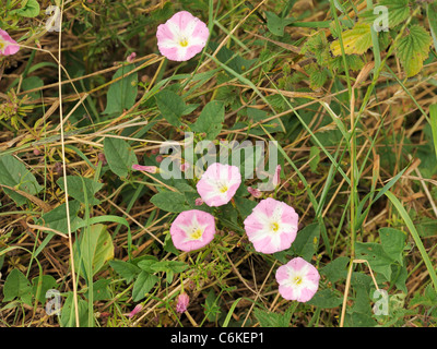 Field Bindweed, Convolvulus arvensis - Stock Photo