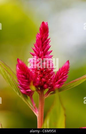Closeup of a cockscomb flower (Celosia Cristata) in a garden - Stock Photo