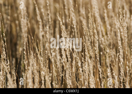 Early morning light on backlit dry grass - Stock Photo