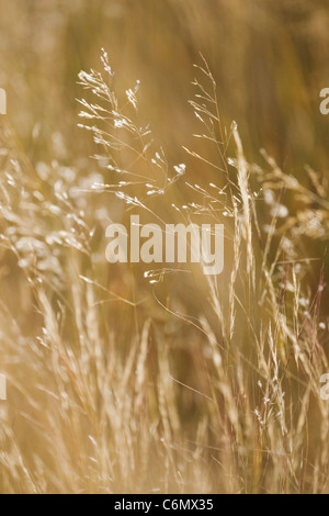 Late afternoon light on backlit dry grass - Stock Photo
