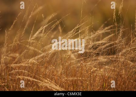 Dew on backlit dry grass - Stock Photo