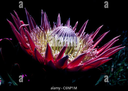 The beautiful national flower of South Africa is the King Protea, a flowering plant that is also known as Giant - Stock Photo