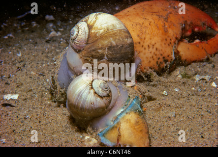 Northern moon Snails (Euspira heros) scavenging on a lobster claw. New England, Atlantic Ocean - Stock Photo