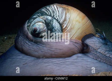 Extended foot and shell of Northern Moon Snail (Euspira heros) moving along sandy bottom at night. New England, - Stock Photo