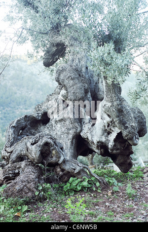 Ancient large olive tree standing on a hill, Mallorca - Stock Photo
