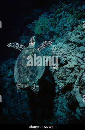 Hawksbill Turtle (Eretmochelys imbricata) swimming near a coral reef at night. Egypt, Red Sea - Stock Photo