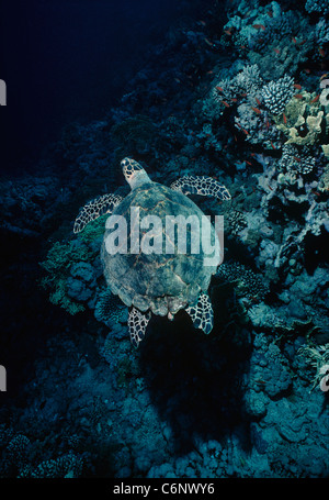 Hawksbill Turtle (Eretmochelys imbricata) swimming over a coral reef. Egypt, Red Sea - Stock Photo