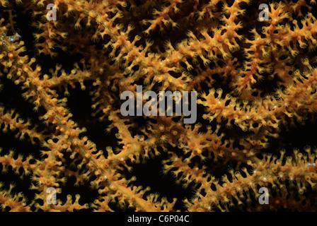 Gorgonian Coral (Gorgonacea) polyps opening. Red Sea, Egypt - Stock Photo
