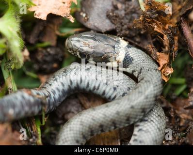 Young grass snake, Natrix natrix, just hatched. UK.