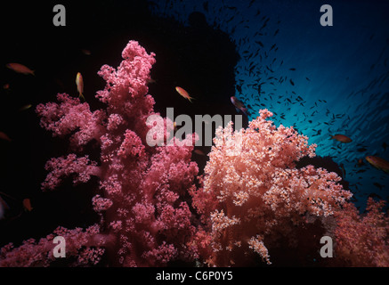 Anthias Goldfish swimming amongst Alcyonarian coral (Dendronephthya spp.) with polyps open and feeding. Red Sea, - Stock Photo