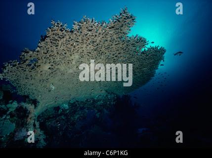 Acropora Table-top Coral (Acropora). Egypt, Red Sea - Stock Photo