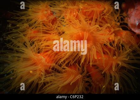 Tube corals (Tubastrea faulkneri), also known as Orange Sun Corals, feed at night. Borneo, South China Sea - Stock Photo