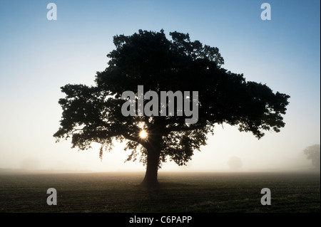 Quercus. Oak Tree silhouette at sunrise in the English morning mist - Stock Photo