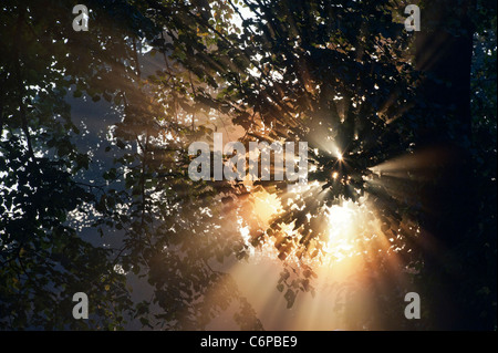 Sun rays through Horse chestnut tree in early morning misty English countryside - Stock Photo