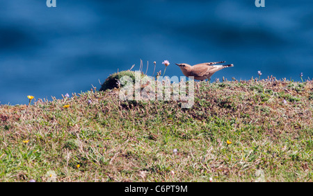 Female Wheatear (Oenanthe oenanthe) searching for insect on South Devon coastal grassland - Stock Photo