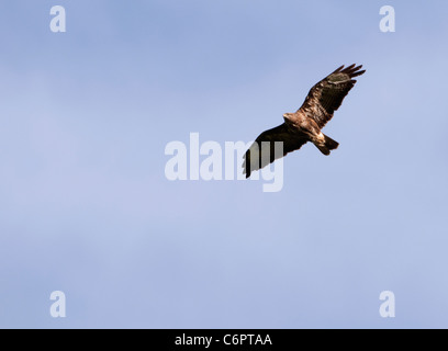 Adult Common Buzzard (Buteo buteo) soaring high on thermals in search of prey - Stock Photo