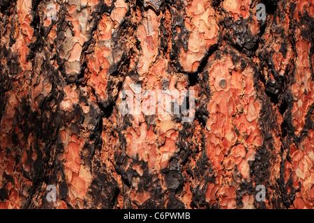 Pine tree bark damaged by fire in Bandelier National Monument, New Mexico, USA. - Stock Photo