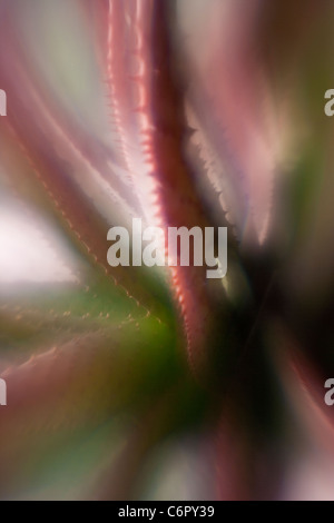 agave, Lensbaby Soft Focus Optic - Stock Photo