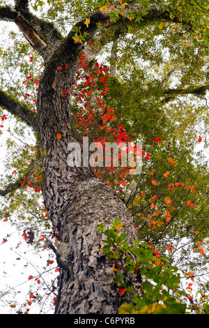 A colorful tree twists and turns upward towards a overcast cloudy sky at the peak of the Autumn season. - Stock Photo