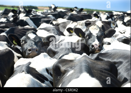 A tagged pair of Black and White female Friesian cows look out from a tightly packed herd of  milking cattle - Stock Photo