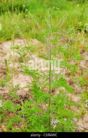 Ambrosia - Common Ragweed 09 - Stock Photo