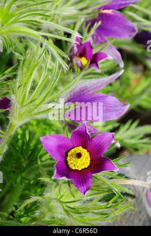 Kuechenschelle - pasque flower 14 - Stock Photo