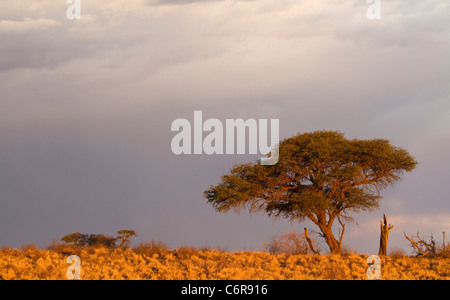 Camelthorn tree (Acacia erioloba) on a ridge in warm light viewed against a cloudy sky - Stock Photo