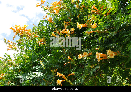 orange flowering campsis radicans or trumpet vine stock photo royalty free image 84423318 alamy. Black Bedroom Furniture Sets. Home Design Ideas