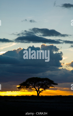 A lone camel thorn acacia tree (Acacia erioloba) silhouetted by the sunset - Stock Photo