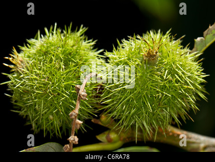 Spiky fruit of the sweet or Spanish chestnut (Castanea sativa) - Stock Photo