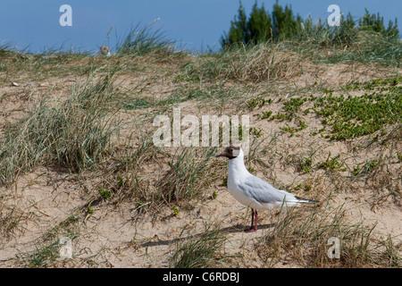 A black headed gull, Chroicocephalus ridibundus, on a sandy beach. - Stock Photo