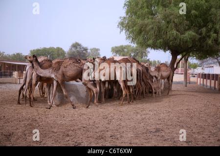 Bikaner Camel breeding farm in Rajasthan - Stock Photo