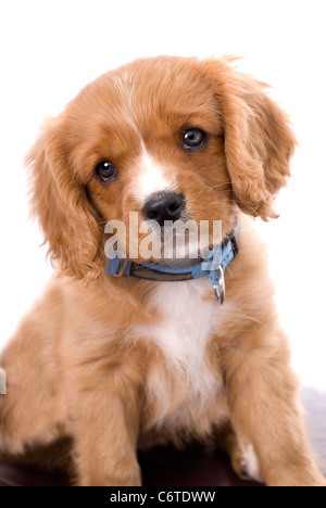 A very cute six week old King Charles Cavalier Spaniel puppy tilting his head in a quizical way against a 255 white - Stock Photo