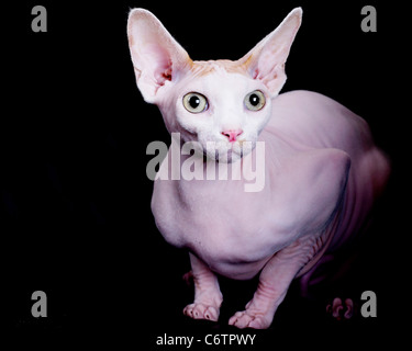 Scrawny hairless cats are in hot demand across the U.K. - as animal lovers scramble to own the newly-introduced - Stock Photo