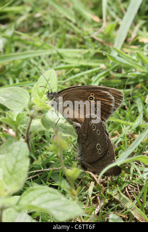 Pair of ringlet butterflies, Aphantopus hyperantus. mating - Stock Photo