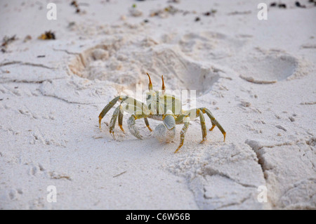 Horned Ghost Crab on the beach. Seychelles islands
