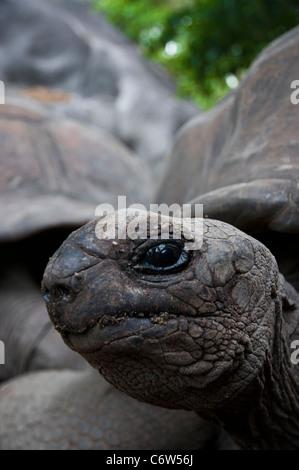 Johnathan Seychelles giant tortoise (Aldabrachelys gigantea hololissa) in Curieuse Island. - Stock Photo