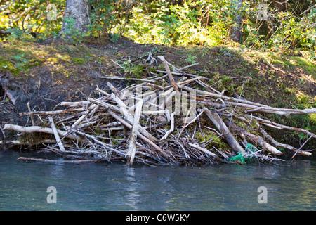 North American Beaver (Castor canadensis) lodge along the banks of the Kenai River, Kenai National Wildlife Refuge, - Stock Photo