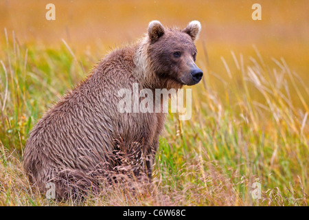 North American brown bear (Ursus arctos horribilis) sits in a field of grass Lake Clark National Park, Alaska, United - Stock Photo