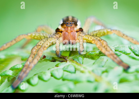 Raft Spider hunting on fern leaves - Stock Photo