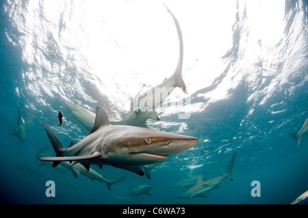 Black tip shark - Stock Photo