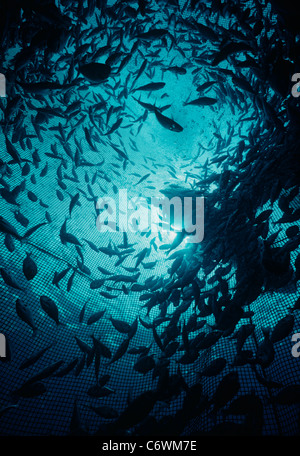 The mariculture of Collared Large-eye Sea Bream (Gymnocranius audleyi) in an ocean cage. Eilat, Israel, Red Sea - Stock Photo